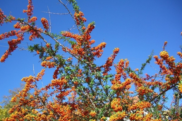 sea buckthorn trees - Resources